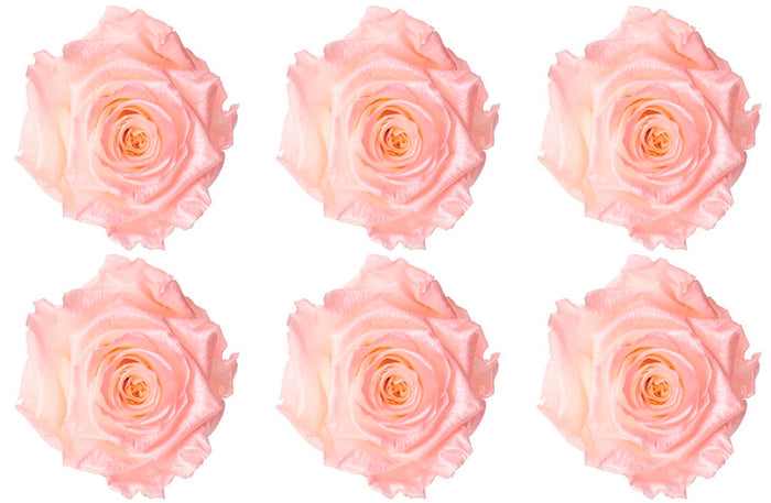 Large: Light Pink Pearl Preserved Rose  *Box of 6 Preserved Rose Heads