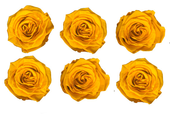 Large: Mustard Yellow Preserved  Rose L * Box of 6 Preserved Rose Heads
