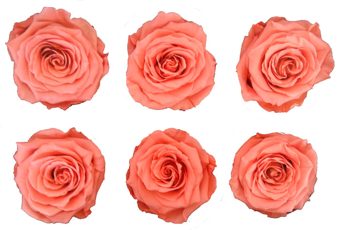 Large: Salmon  Preserved Rose * Box of 6 Preserved Rose Heads