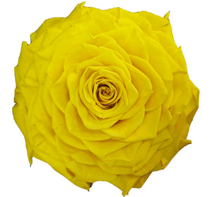 Jumbo rose: Sun Yellow Jumbo