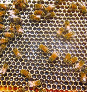 Ebert Honey Iowa Our Story bees on a honeycomb