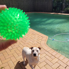 spikey ball in front of large dog in pool area.  dogapproved.co