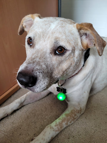 dog wearing green glowing collar pendant dog approved dogapproved.co
