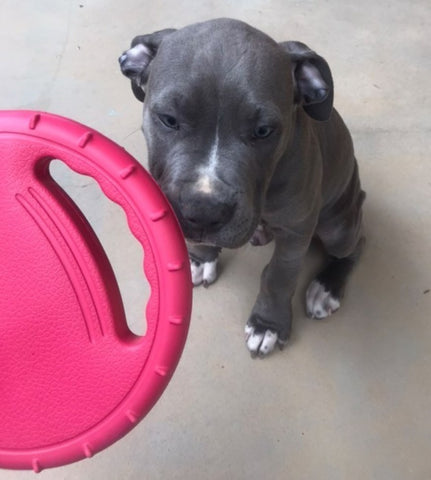staffy dog pup with handled frisbee from dogapproved.co