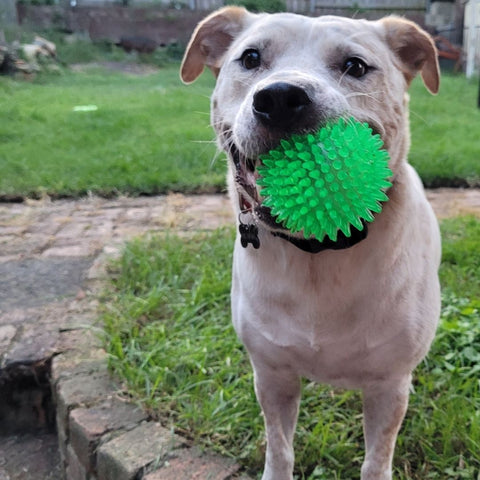large dog with spikey squeaker ball in mouth. dogapproved.co