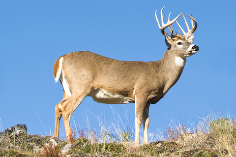 Whitetail Scents