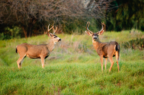 Blacktail Deer Scents