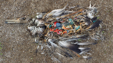 On Remote Islands, Seabirds Are Poisoned By Plastic