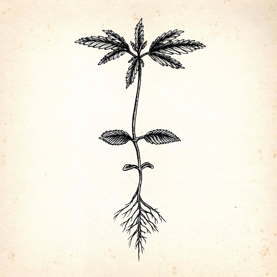 hemp plant with roots engraving style drawing