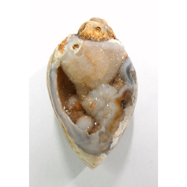 Fossilized Whelk Shell with Druzy