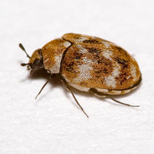 Load image into Gallery viewer, Varied Carpet Beetle / 'Woolly Bear' Trap
