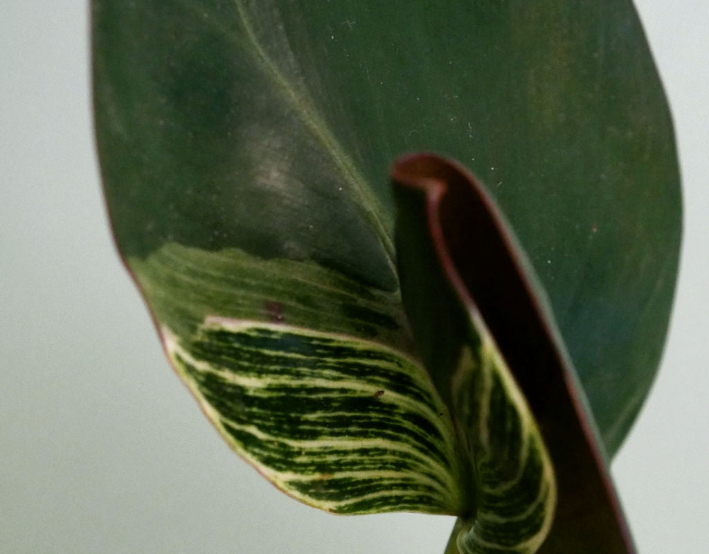 philodendron birkin philodendron red congo