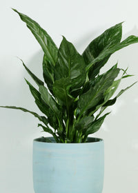 Spathiphyllum Domino Peace Lily