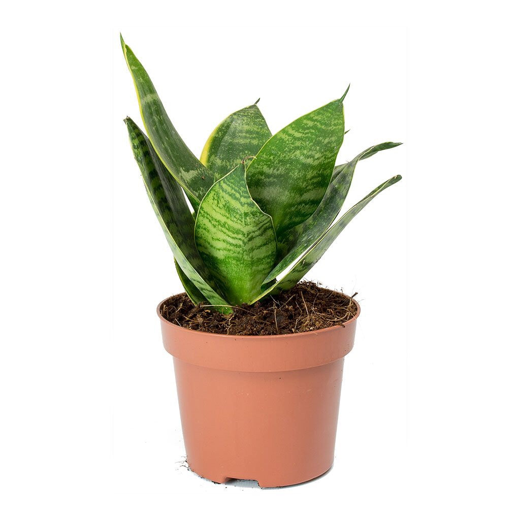 "4"" birds Nest Sansevieria (non variegated)"