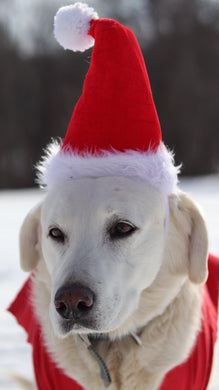 a small white dog wearing a santa hat