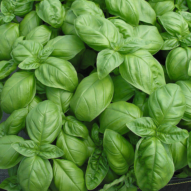 Basil Genovese Seeds – Organic - Beyond Bricks