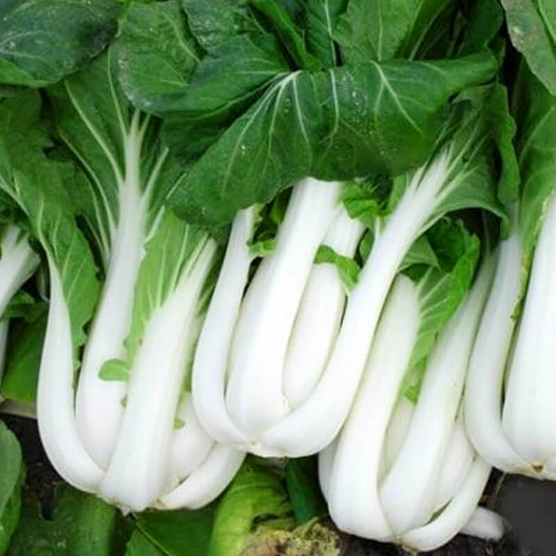 Chinese Cabbage Pak Choy Shanghai Seeds – Organic - Beyond Bricks