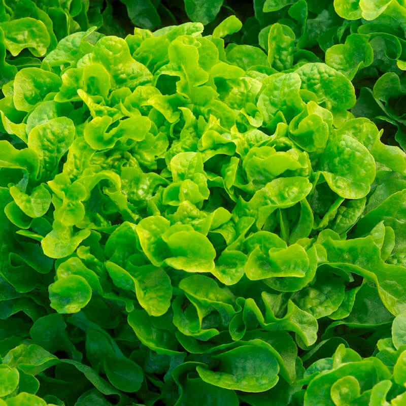 Lettuce - Oak Leak Seeds - Organic - Beyond Bricks