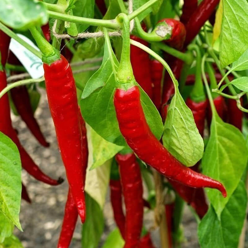 Ring of Fire Cayenne Pepper Seeds – Organic - Beyond Bricks