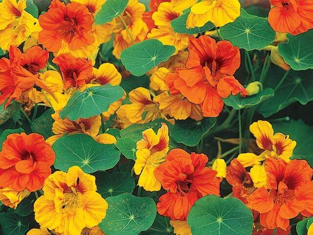 Jewel Nasturtium Seeds – Organic - Beyond Bricks