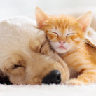 A close up two animals (a puppy and a kitten) both fast asleep. The puppy has its ear over the body of the kitten and the kitten is snuggled into the face of the puppy