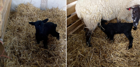 Black lamb born on the farm and stands with mother