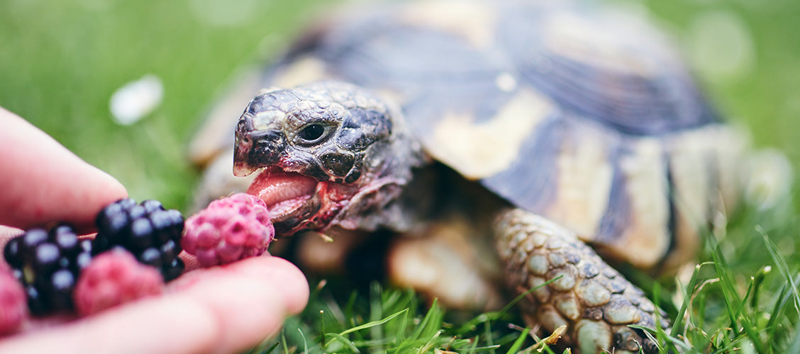 Box turtle eating raspberries out of person's hand - Best Pets for Kids