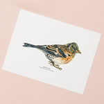 Brambling Bird Illustrated Giclée Print - 18 x 24 cm