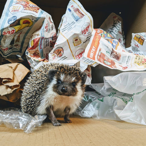 Hedgehog sitting in front of a variety of packing materials