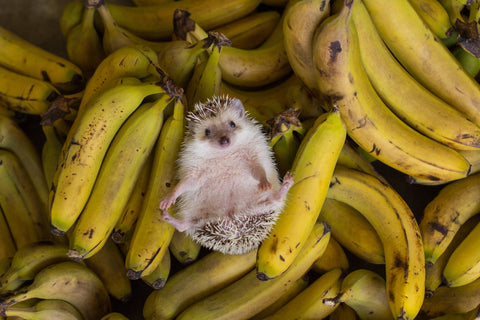 Hedgehog on back laying among bunches of bananas
