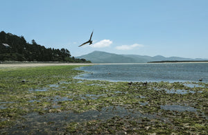 Eagle soaring on beach along Oregon coast with coast range mountains in background