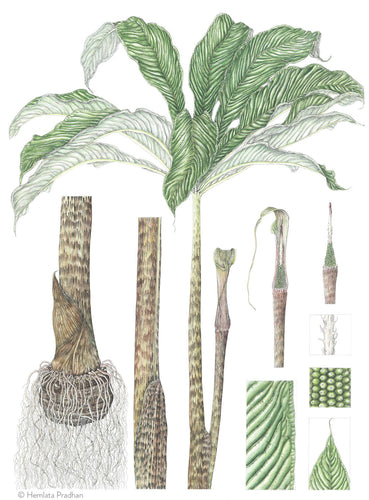 Arisaema Species (Nagaland) by HEMLATA PRADHAN