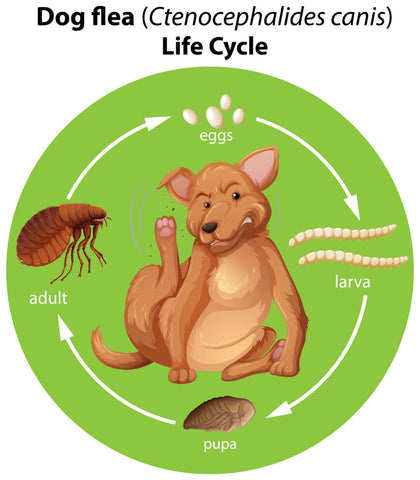 flea lifecycle on your dog or pet