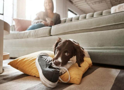 Why Your Dog Chews and How to Stop It