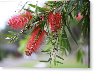 Bottlebrush Tree - Canvas Print