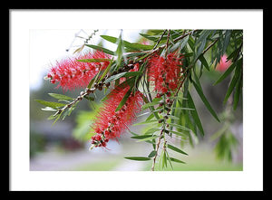 Bottlebrush Tree - Framed Print