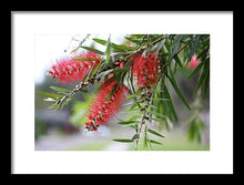 Load image into Gallery viewer, Bottlebrush Tree - Framed Print