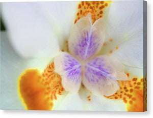 Fortnight Lilly - Canvas Print