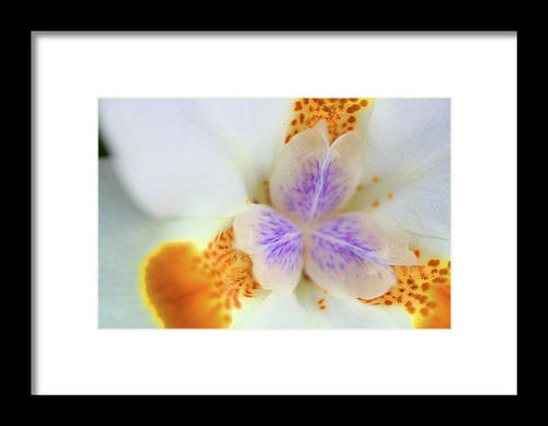 Fortnight Lilly - Framed Print
