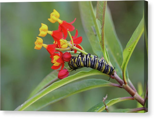 Monarch & Milkweed - Canvas Print