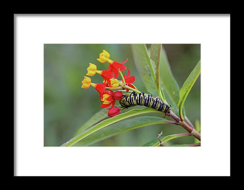Monarch & Milkweed - Framed Print