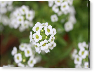 Sweet Alyssum - Canvas Print