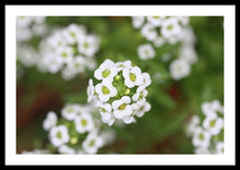 Load image into Gallery viewer, Sweet Alyssum - Framed Print