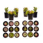 Load image into Gallery viewer, Assorted Succulents - 3.5 Inch Potted (Starting at quantities of 6)