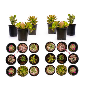 Assorted Succulents - 3.5 Inch Potted (Starting at quantities of 6)