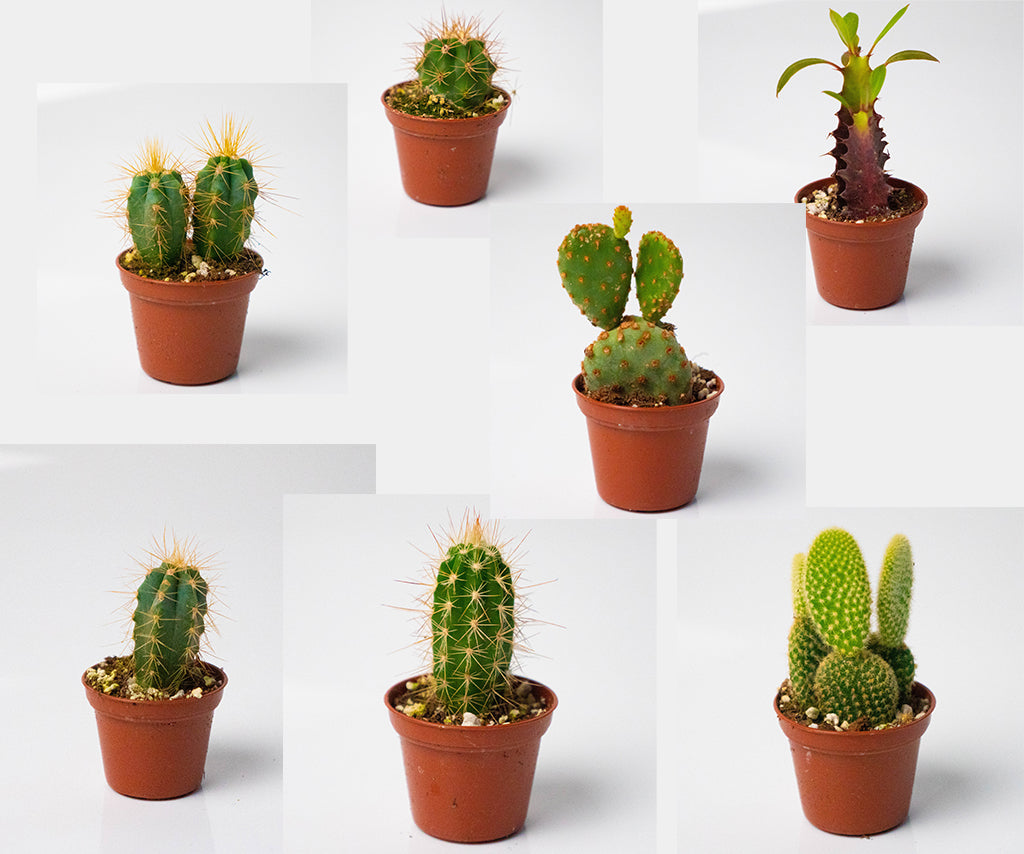 Cactus Assortment - Random Mix of Cacti in 2 Inch Pots