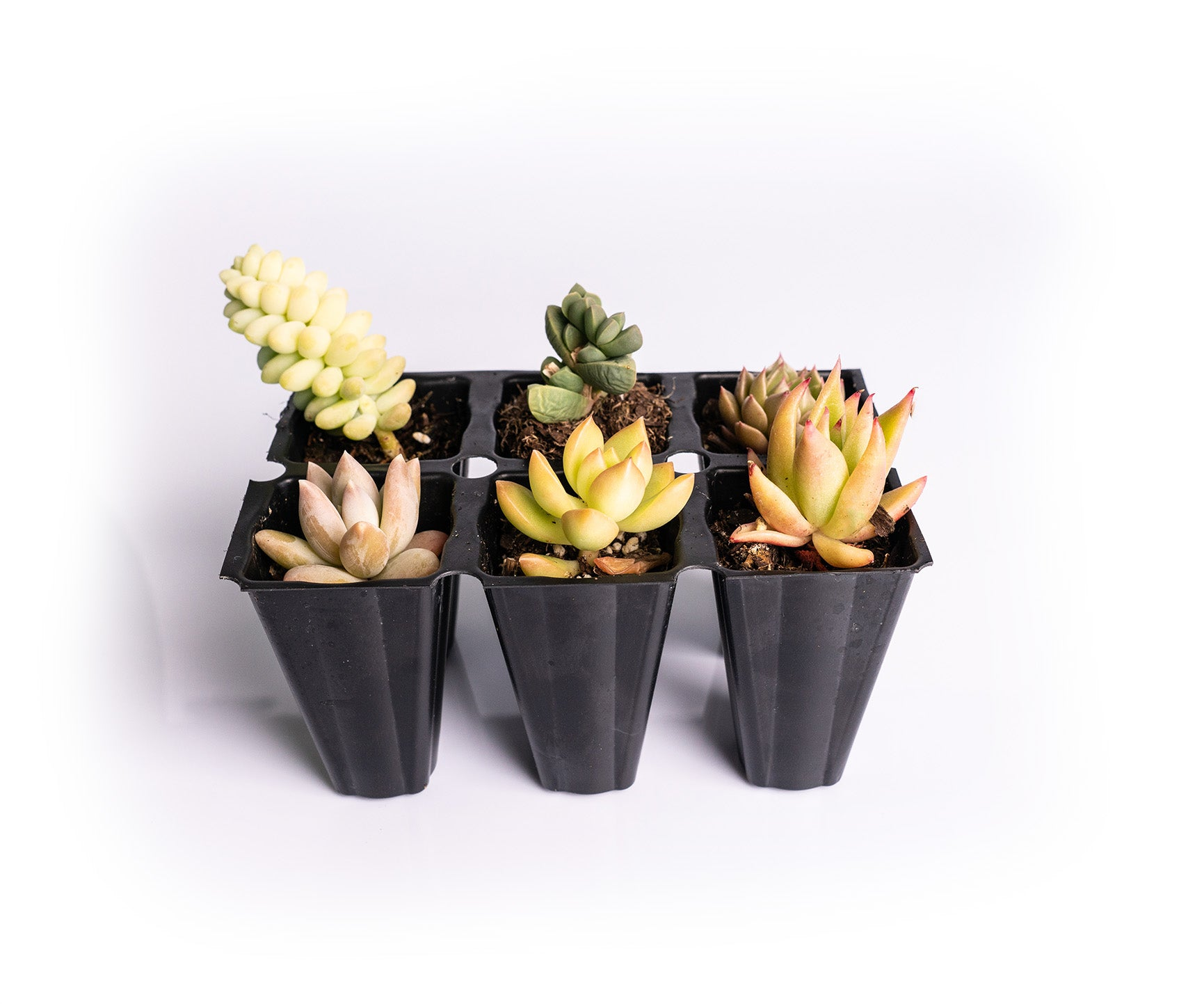 GREEN & YELLOW HUES ASSORTMENT 1.5 Inch (Starting at quantities of 6)