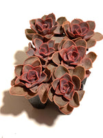 "Load image into Gallery viewer, Echeveria ""Red Sky"""