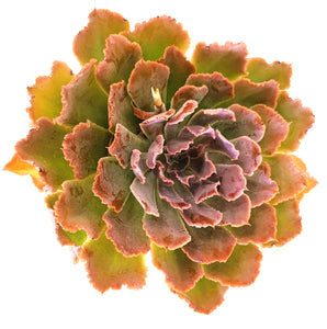 Echeveria Painted Frills - 4 Inch Pot