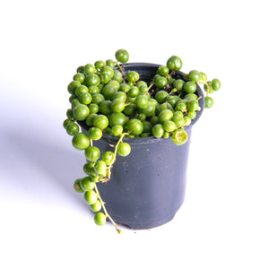 String of Pearls Succulents (Senecio Rowleyanus) - 3.5 Inch Potted